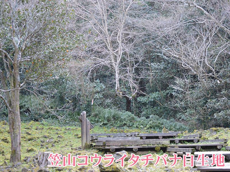 笠山コウライタチバナ自生地
