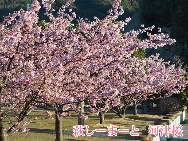 萩しーまーと 河津桜
