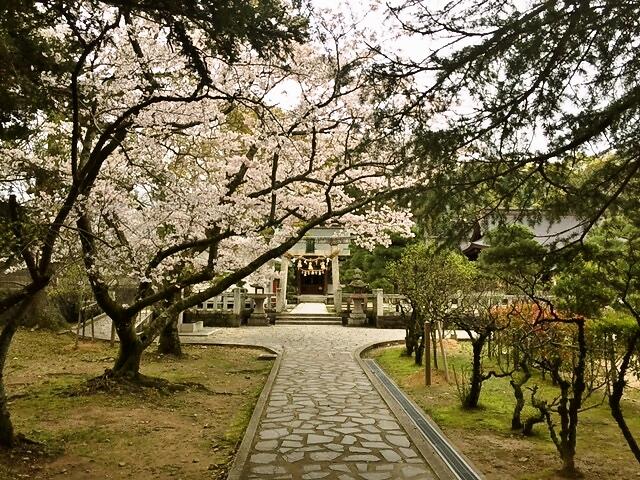 松陰神社境内の桜