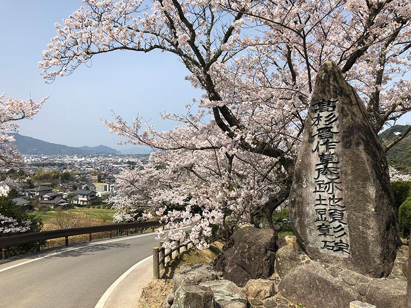 松陰先生と金子重輔の銅像前の桜