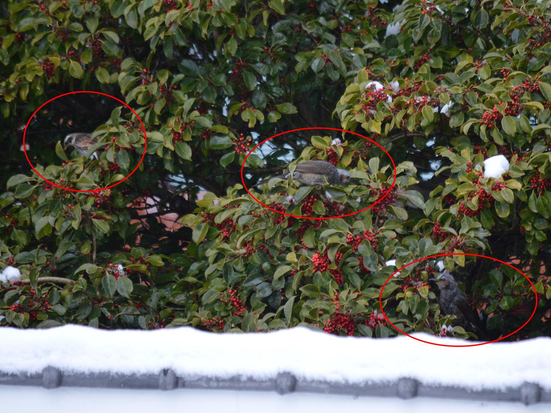 モチノキ赤い実小鳥