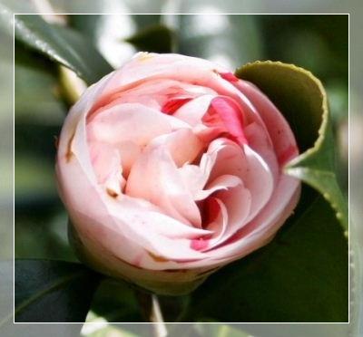 ピンクの椿