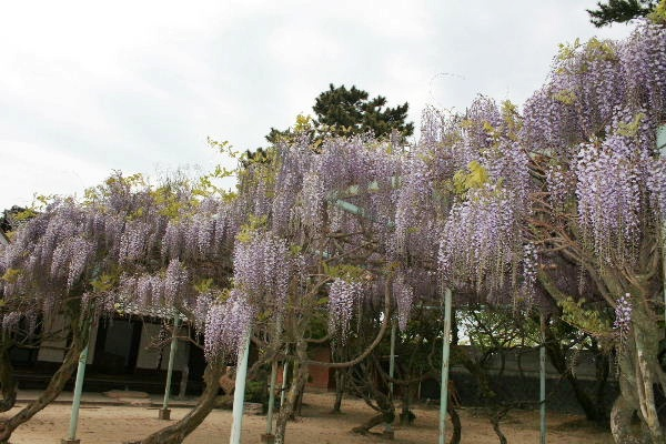 松陰神社藤の花