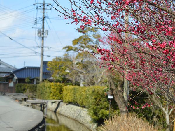 藍場川周辺の梅の木